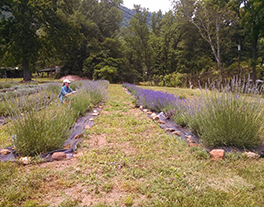 Person tending a row of lavendar among other rows of herbs