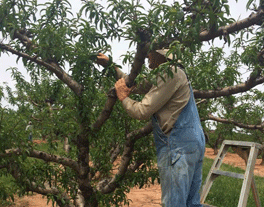Farmer working in tree